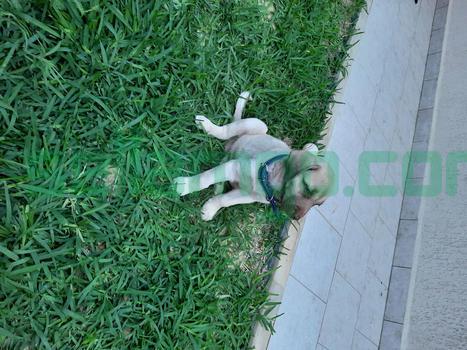 Vente smart chiot 2 mois kangal male avec carnet vaccination